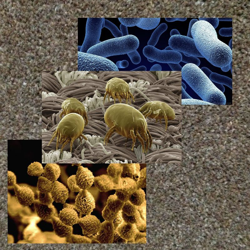 Carpet bacteria mold mites